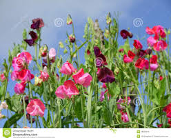 sweet peas flowers garden sweet pea flowers h stock photo image of tendrils