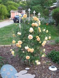 roses forum golden celebration truly a celebration of bloom