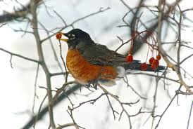 solving the mystery of why huge flocks of robins are spending