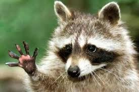 Meme Generator Raccoon - hello raccoon blank template imgflip