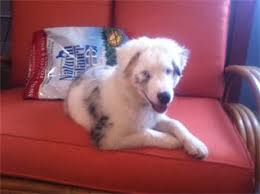 double j australian shepherds a 501c3 sanctuary for dogs with special needs highlights