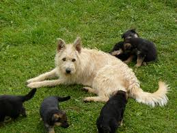 belgian sheepdog breeds belgian shepherd laekenois dog funny puppy u0026 dog pictures