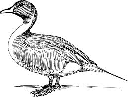 duck drawing nice coloring pages for kids