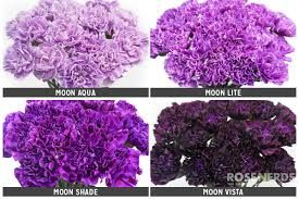 wholesale carnations wholesale assorted moon series purple carnations 2 colors