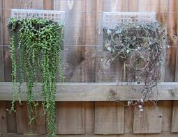 wall planters creating a vertical garden indoor living wall