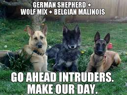 belgian malinois near me german shepherd wolf mix and a belgian malinois shepherd wow