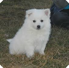 american eskimo dog toy for sale american eskimo dog dog breed information puppies u0026 pictures