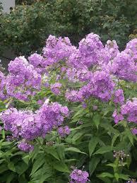 phlox flower phlox katherine bluestone perennials