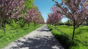 moving rural road towards road pink cherry blossom trees