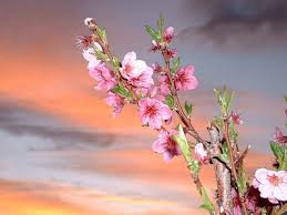 apple tree bloom wallpapers flower blossom pretty sky apple pink tree flowers as desktop