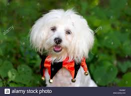 halloween dog costume is a funny looking cute white dog all