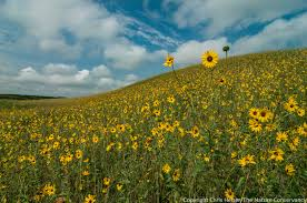 plants native to kansas sunflowers the prairie ecologist