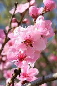 190 best cherry blossoms japan images on pinterest cherry