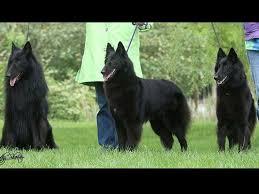 belgian sheepdog puppies texas lisa leffingwell belgian sheepdog puppies for sale