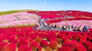 hitachi seaside park earthly paradise in japan vacation deals