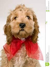 dog ribbon dog with ribbon is sitting and stock photo image of