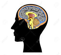 anatomy of human head images learn human anatomy image