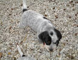 bluetick coonhound puppies for sale in louisiana index
