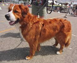 australian shepherd and beagle mix owner profile the rare breed braggart snobs owner bernese mountain