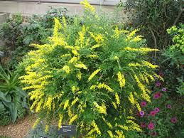 Heat Loving Plants by Sweet Broom Cytisus Spachianus Vigorous Shrub To 6x6 Ft Blooms