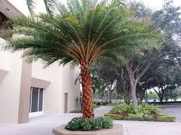 sylvester palm tree sale sylvester palm for sale mulch masters jacksonville fl