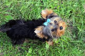 haircuts for yorkie dogs females yorkie girl names for your furry companion