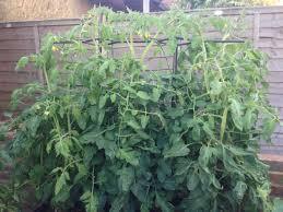 tomato plant photos john cook uk