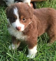 australian shepherd cost puppies for sale j u0026 j mini aussies