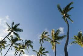 free stock photo of tall palm trees photoeverywhere