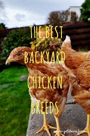 Backyard Laying Chickens by The Best Backyard Chicken Breeds Get Down Farm
