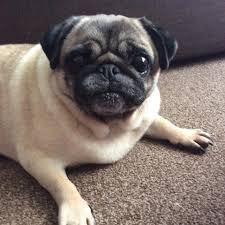 adopting a pug the pug dog welfare u0026 rescue association