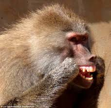 Baboon Meme - baboon is spotted flossing its teeth using bristles from a broom