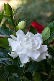 Most Fragrant Plants Everblooming Gardenia Monrovia Everblooming Gardenia
