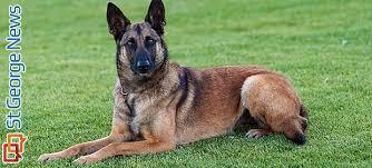 belgian shepherd washington state vested interest in police dogs meet washington county u0027s k 9