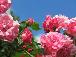 free photo rose pink flower garden flora free image on
