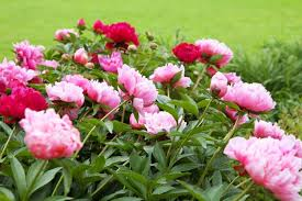 pianese flowers extend the blooming season of your peonies
