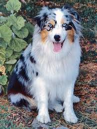 australian shepherd with blue eyes blue merle coloring and the genotypes family dog pets