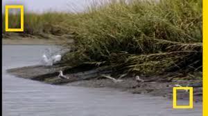bottlenose hunt on sandy shore national geographic youtube