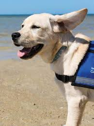 Sponsor A Puppy For The Blind Southeastern Guide Dogs