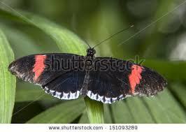black stripe white fringe butterfly stock photo 151093289