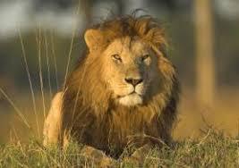 sprüche löwe spruchperlen de 09 44 löwe