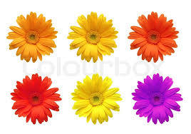 gerbera colors gerbera flowers of bright colors isolated on white background
