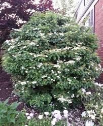 Shrub Small White Flowers - summer snowflake bush u2013 crazy for gardening