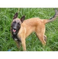 south australian german shepherd breeders kennels belgian german and australian shepherd australian