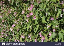 non native plant himalayan or indian balsam impatiens glandulifera an invasive