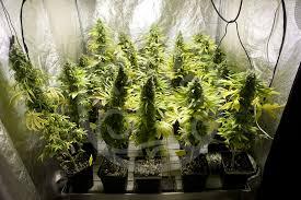 chambre de culture 1m2 comment ventiler une culture de cannabis philosopher seeds