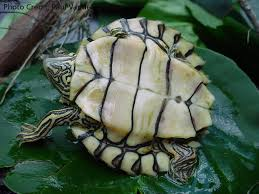 Texas Map Turtle Graptemys Pearlensis Natural History Care And Photo