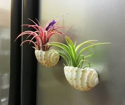 Cute Plant by Creative Idea Small Diy White Shells Floating Air Plants Cute