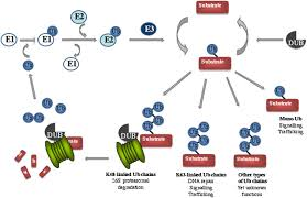 Viral Disease In Plants Page 489 Ubiquitin And Plant Viruses Let U0027s Play Together Plant Physiology