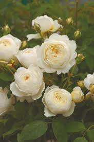 2229 best roses part 2 images on pinterest flowers beautiful